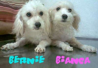 """""""Bernie"""" y """"Bianca"""", pareja de cachorros buscan hogar"""
