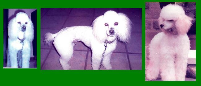 """""""Polo"""", Poodle con pedigree busca hogar"""