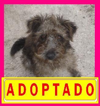 """Anton"", perro schnauzer busca hogar --A D O P T A D O---"