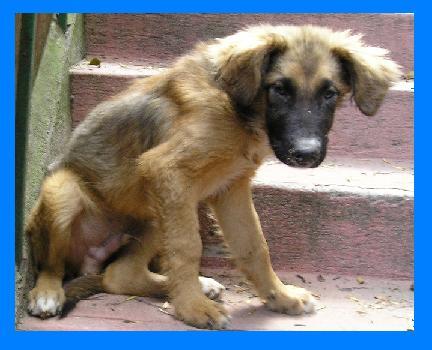 """""""Lobito"""", perro criollo"""