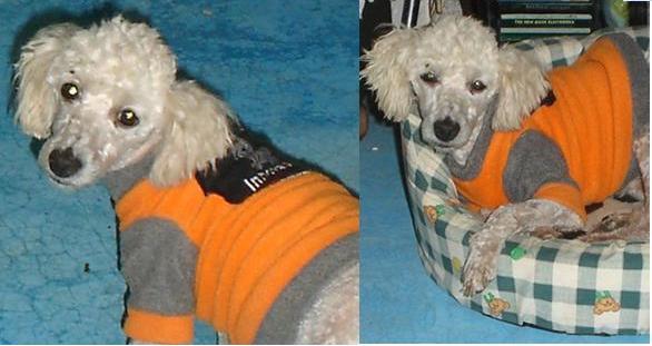 """""""Tili"""", cariñoso y obediente perro tipo French"""