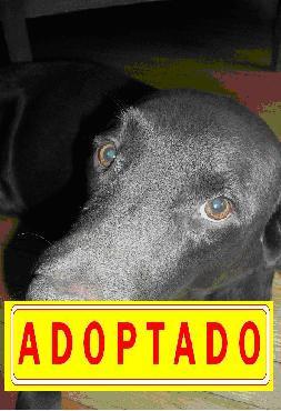 """""""Morocha"""", perra tipo labrador --A D O P T A D A--"""