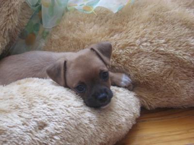 Cachorrita Chihuahua auténtica