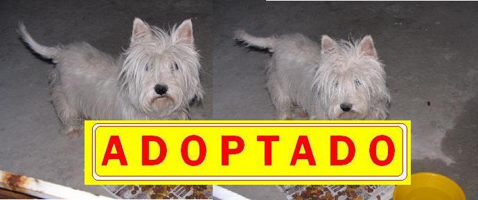 West Highland Terrier en adopción ---A D O P T A D A---