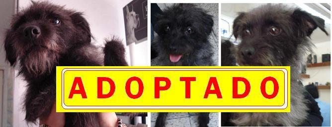 """Blacky"", cariñoso perro talla pequeña --- A D O P T A D O ---"