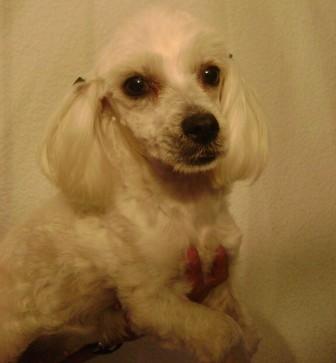"""Balita"", hermosa perra tipo maltés"